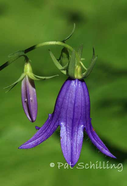 Purple Bells