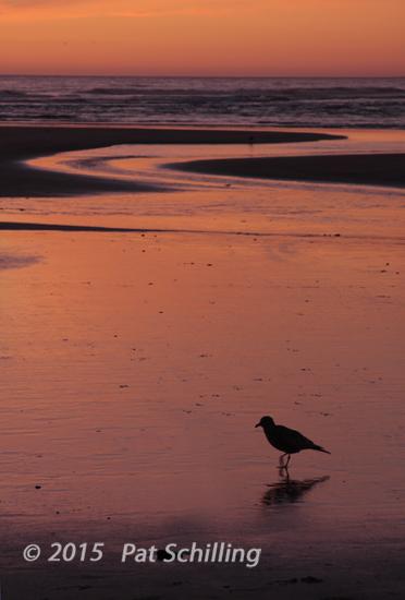 Segull in the Sunset