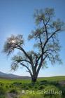 Tree on the Palouse 2