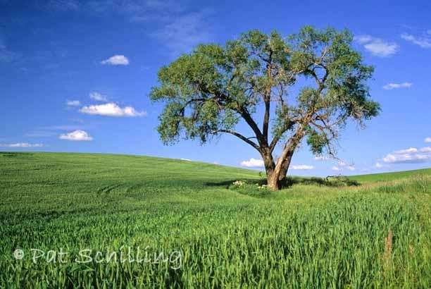 Tree on the Palouse