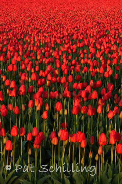 Tons Of Tulips